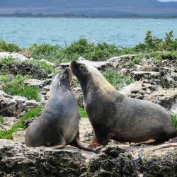 Sea lions at Brothers Islands, Coffin Bay, Eyre Peninsula, South Australia