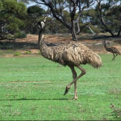 Emu - South Australia - Crooked Compass by Air