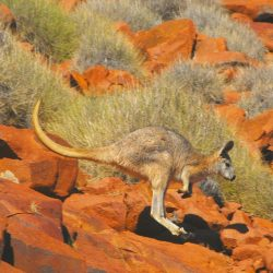 Gawler Ranges rock wallaby - Crooked Compass by Air